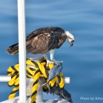 Every time we head over to French Cay, this giant Osprey lands on the bow to observe the scuba diving life. This time he brought himself lunch!
