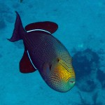 The Black Durgon, a member of the Triggerfish family, is extremely difficult to photograph!