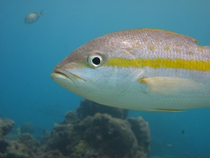 yellow-tail-snapper-sosua-three-rocks