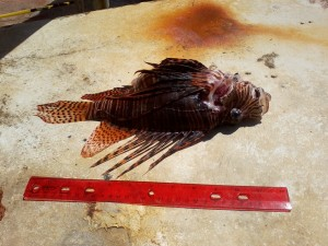 Lionfish-Sosua