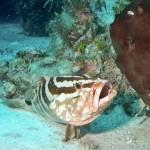 Nassau Grouper Cleaning Station, Bahamas